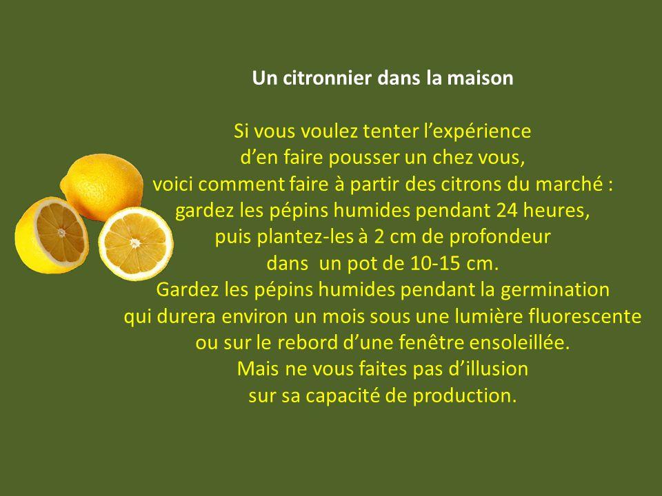 Un citronnier dans la maison