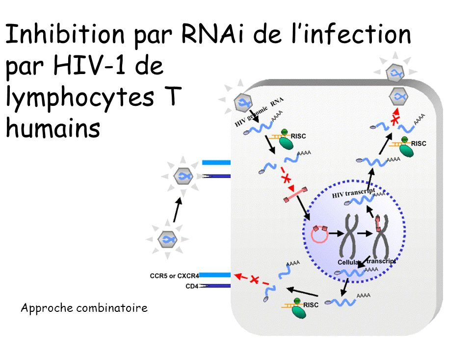 Inhibition par RNAi de l'infection par HIV-1 de lymphocytes T humains