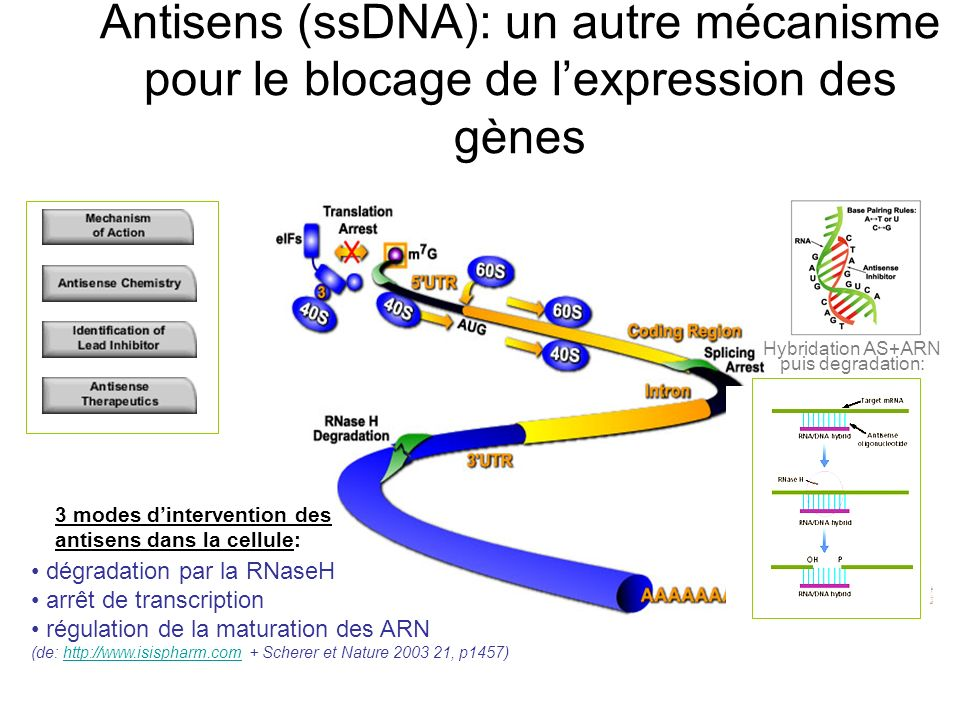 Hybridation AS+ARN puis degradation: