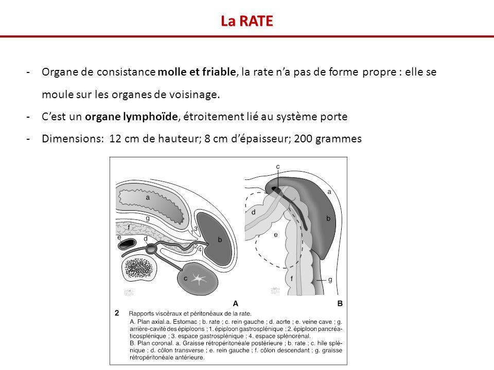 La RATE Organe de consistance molle et friable, la rate n'a pas de forme propre : elle se moule sur les organes de voisinage.