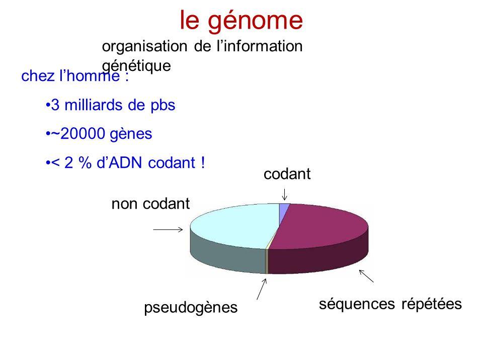le génome organisation de l'information génétique chez l'homme :
