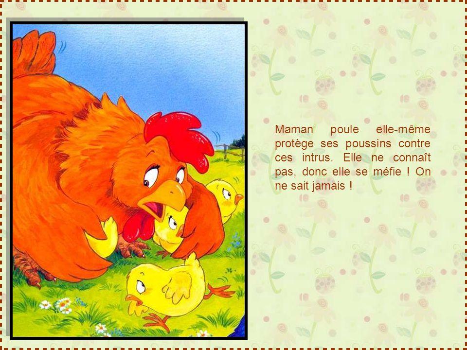 Maman poule elle-même protège ses poussins contre ces intrus