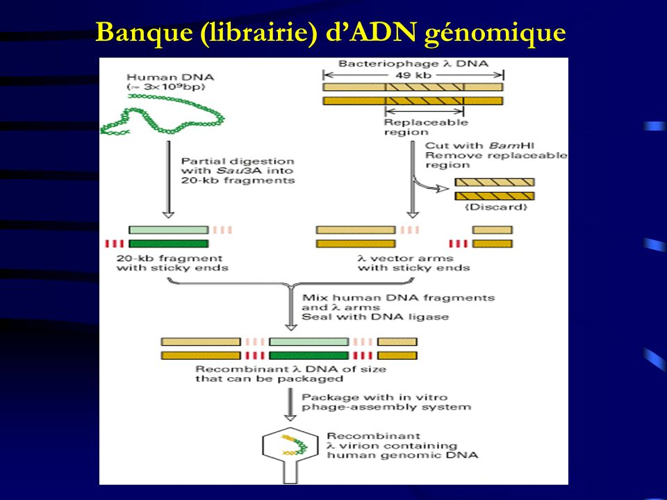 Banque (librairie) d'ADN génomique
