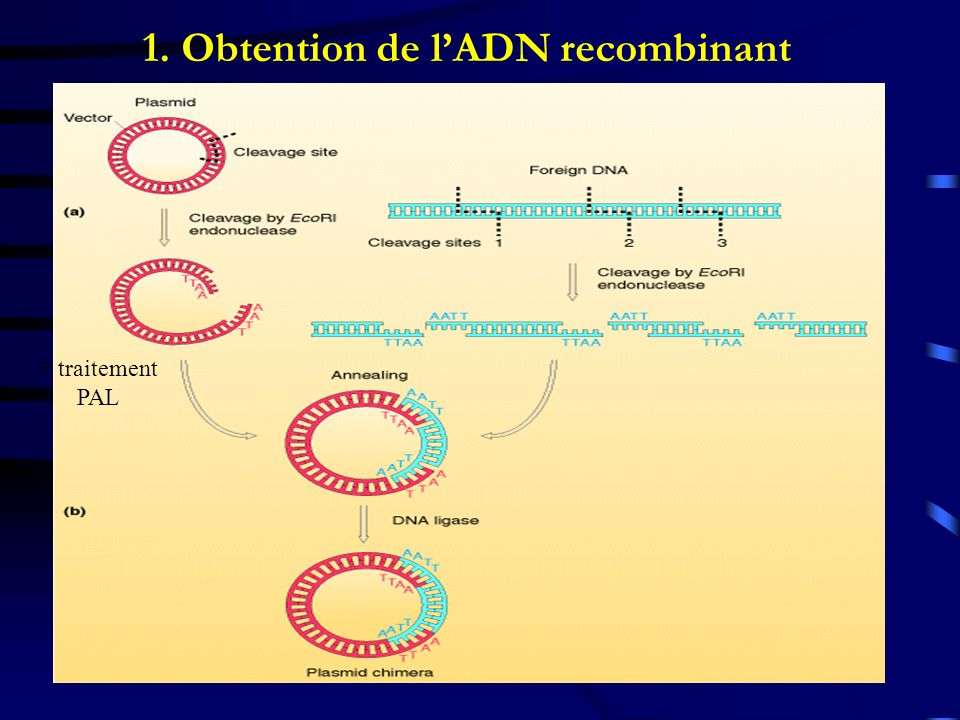 1. Obtention de l'ADN recombinant
