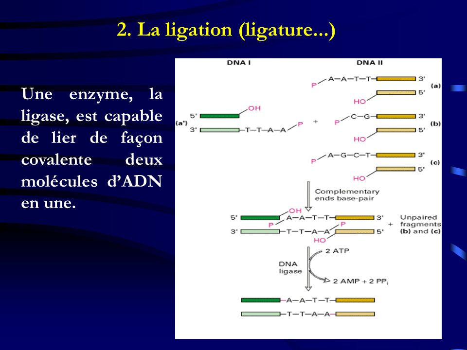 2. La ligation (ligature...)