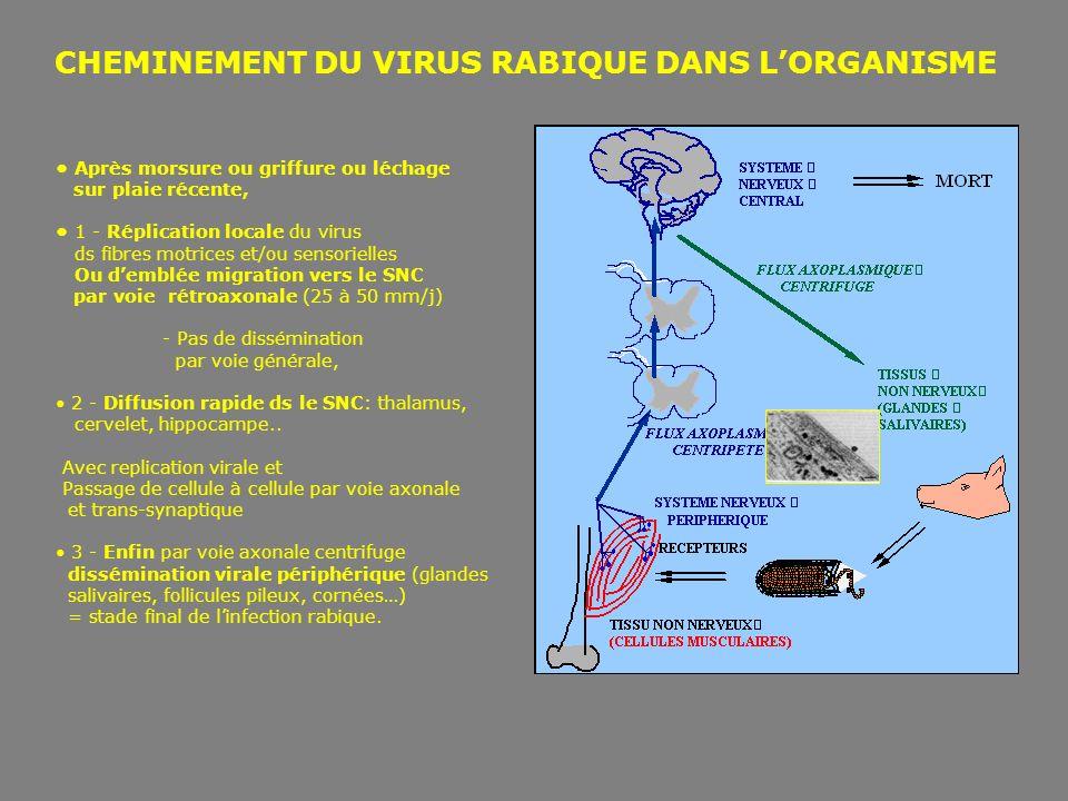 CHEMINEMENT DU VIRUS RABIQUE DANS L'ORGANISME