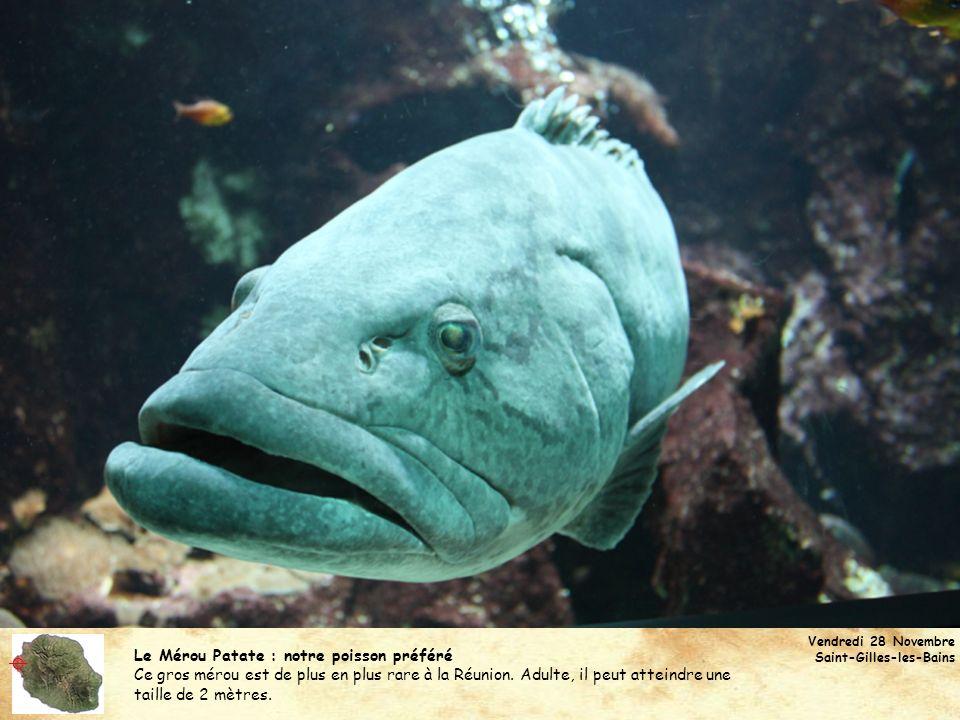  Le Mérou Patate : notre poisson préféré