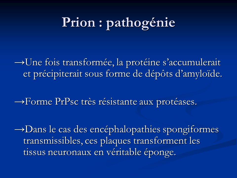 Prion : pathogénie →Une fois transformée, la protéine s'accumulerait et précipiterait sous forme de dépôts d'amyloïde.