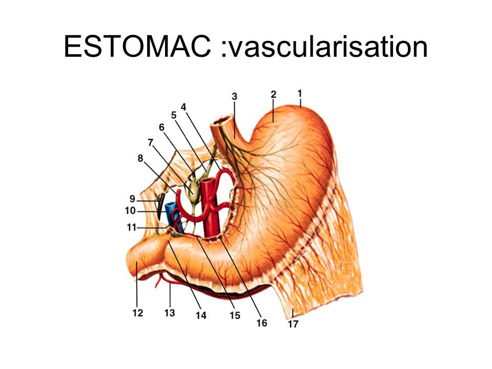 ESTOMAC :vascularisation