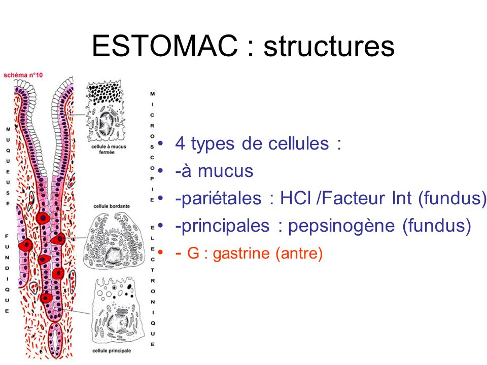 ESTOMAC : structures 4 types de cellules : -à mucus