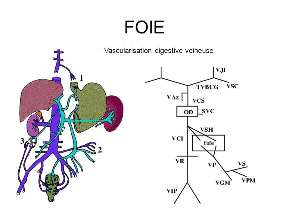 FOIE Vascularisation digestive veineuse