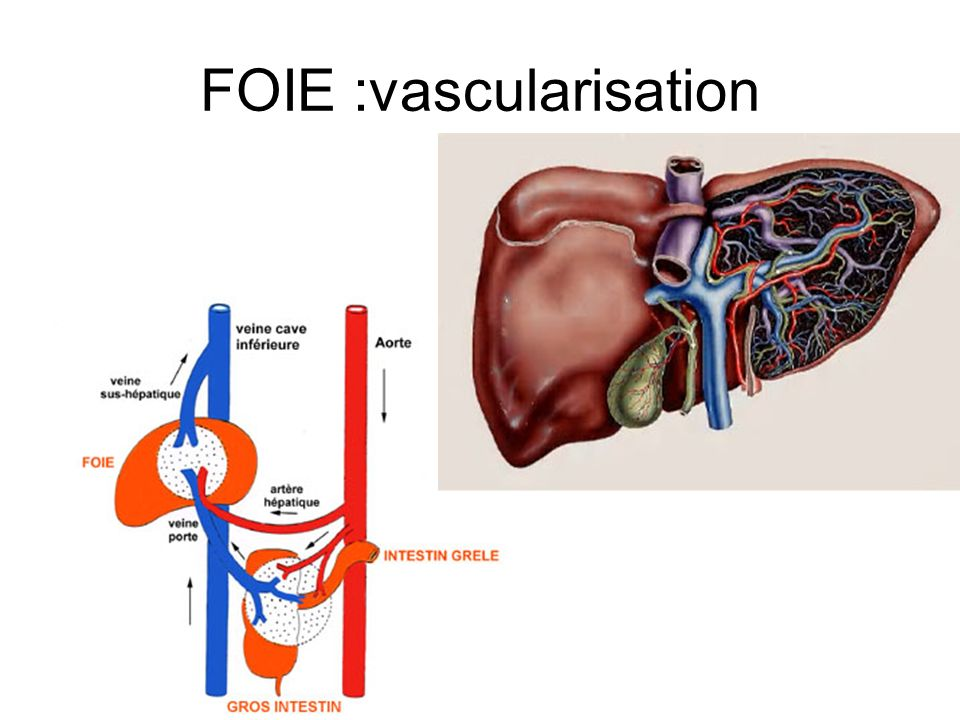 FOIE :vascularisation