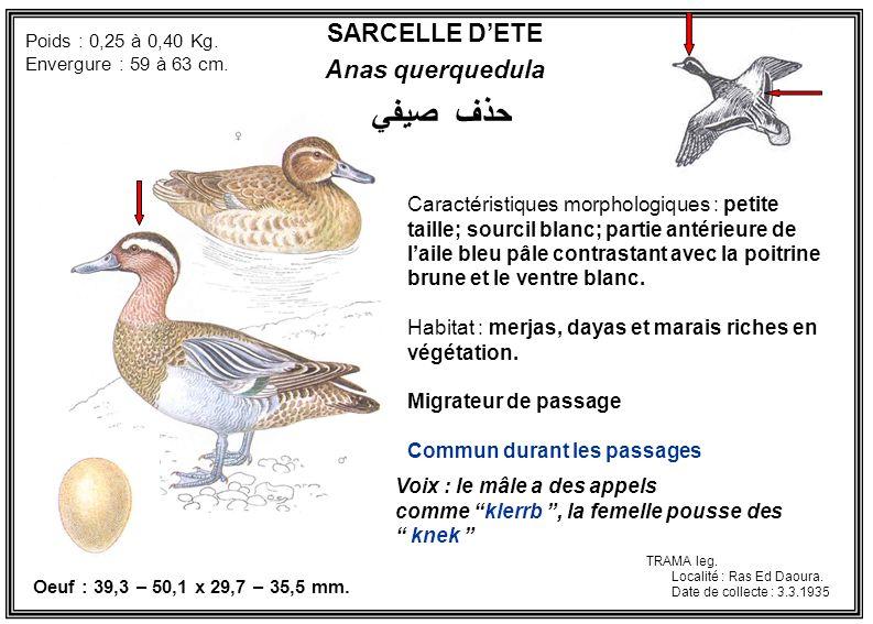 حذف صيفي SARCELLE D'ETE Anas querquedula