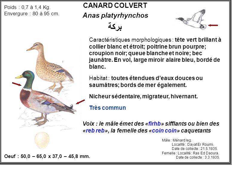 بركة CANARD COLVERT Anas platyrhynchos