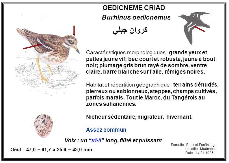 كروان جبلي OEDICNEME CRIAD Burhinus oedicnemus