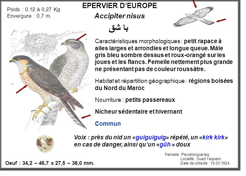 با شق EPERVIER D'EUROPE Accipiter nisus