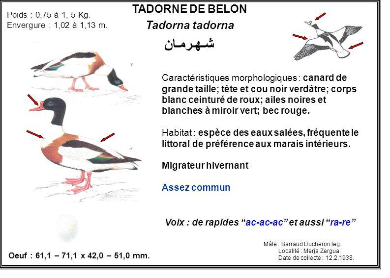 شـهـرمـان TADORNE DE BELON Tadorna tadorna