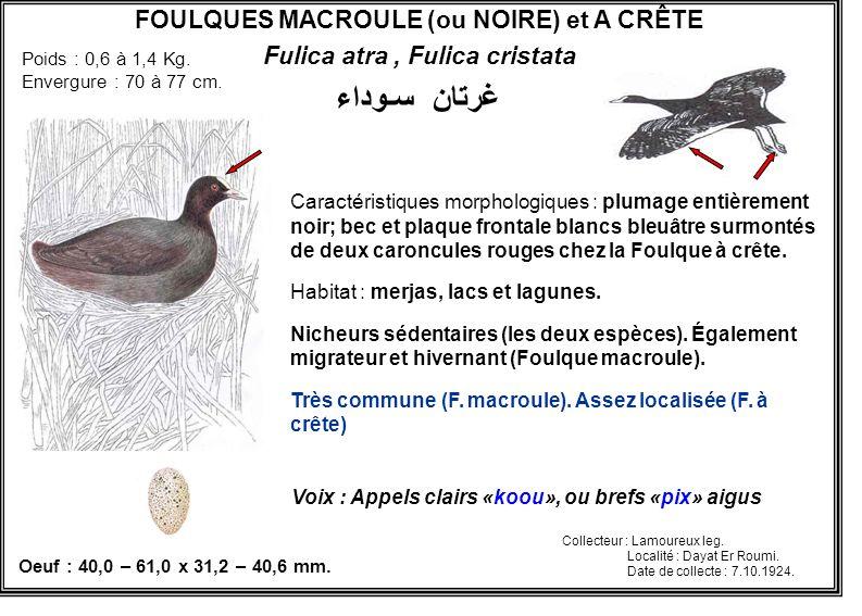 FOULQUES MACROULE (ou NOIRE) et A CRÊTE Fulica atra , Fulica cristata