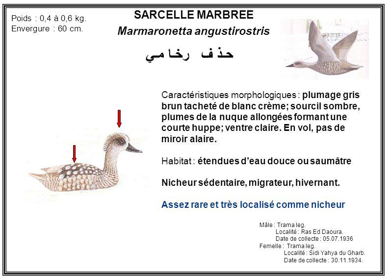 Marmaronetta angustirostris