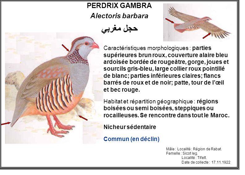 حجل مغربي PERDRIX GAMBRA Alectoris barbara