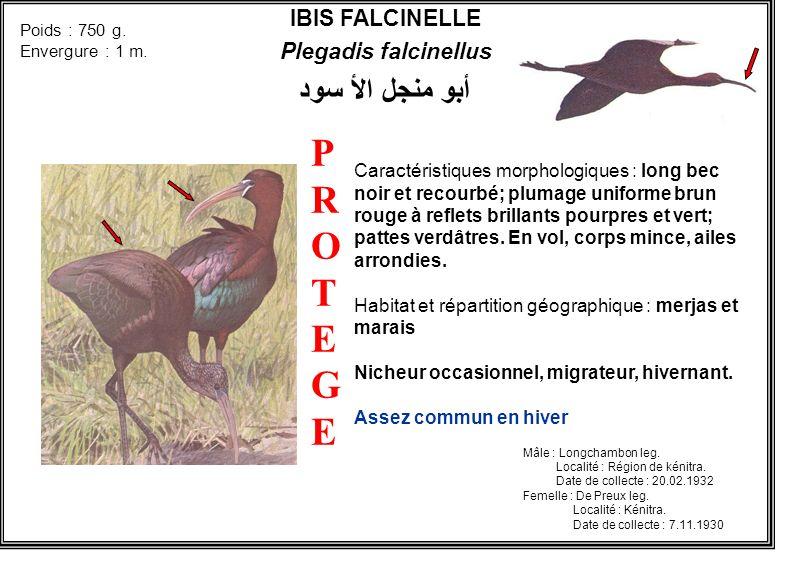 P R O T E G E أبو منجل الأ سود IBIS FALCINELLE Plegadis falcinellus