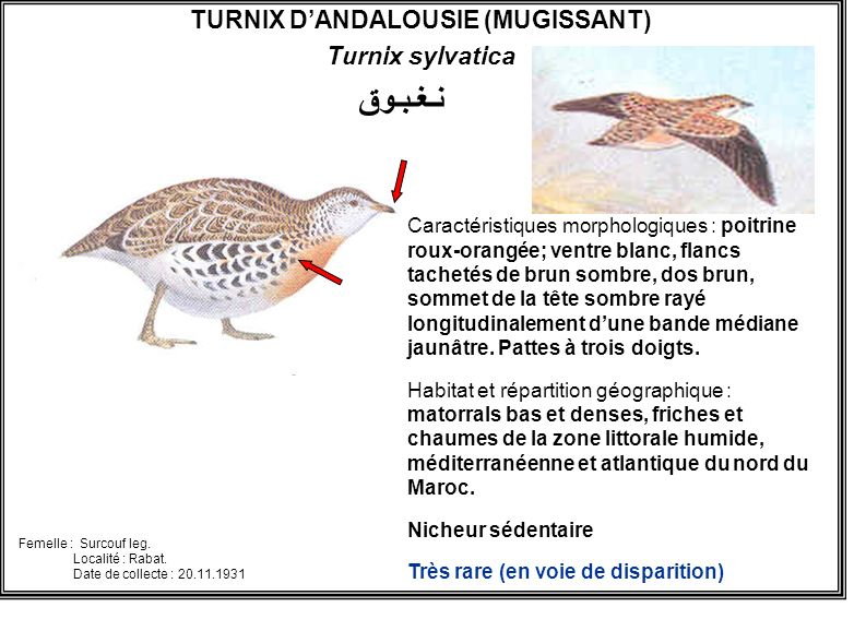 TURNIX D'ANDALOUSIE (MUGISSANT)