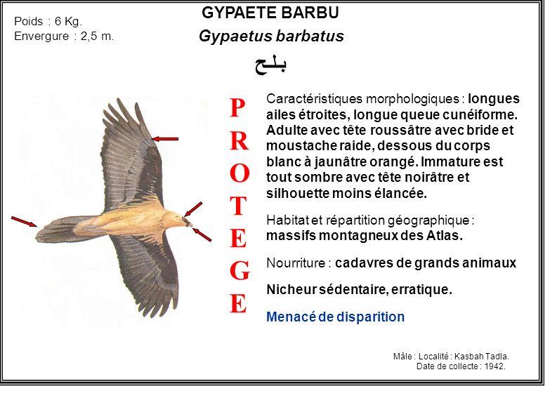 P R O T E G E بـلـح GYPAETE BARBU Gypaetus barbatus