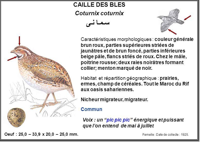 سـمـا نـى CAILLE DES BLES Coturnix coturnix