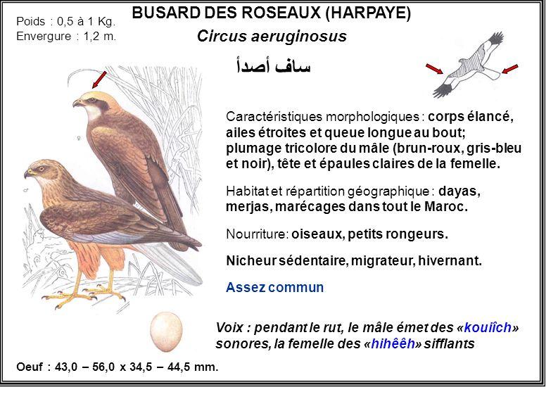 BUSARD DES ROSEAUX (HARPAYE)