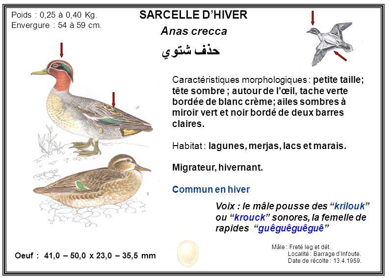 حذف شتوي SARCELLE D'HIVER Anas crecca