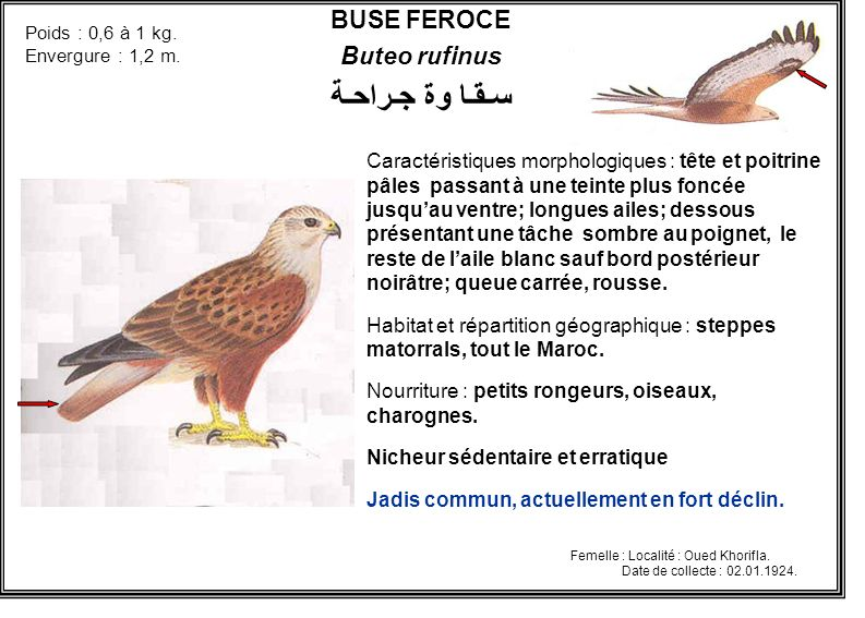سـقـا وة جـراحـة BUSE FEROCE Buteo rufinus