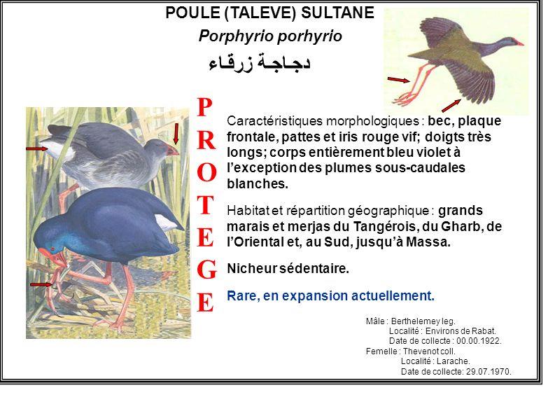 POULE (TALEVE) SULTANE