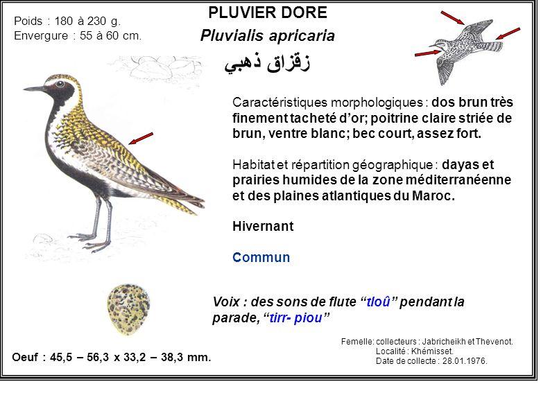 زقزاق ذهبي PLUVIER DORE Pluvialis apricaria