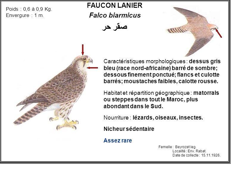 صقر حر FAUCON LANIER Falco biarmicus