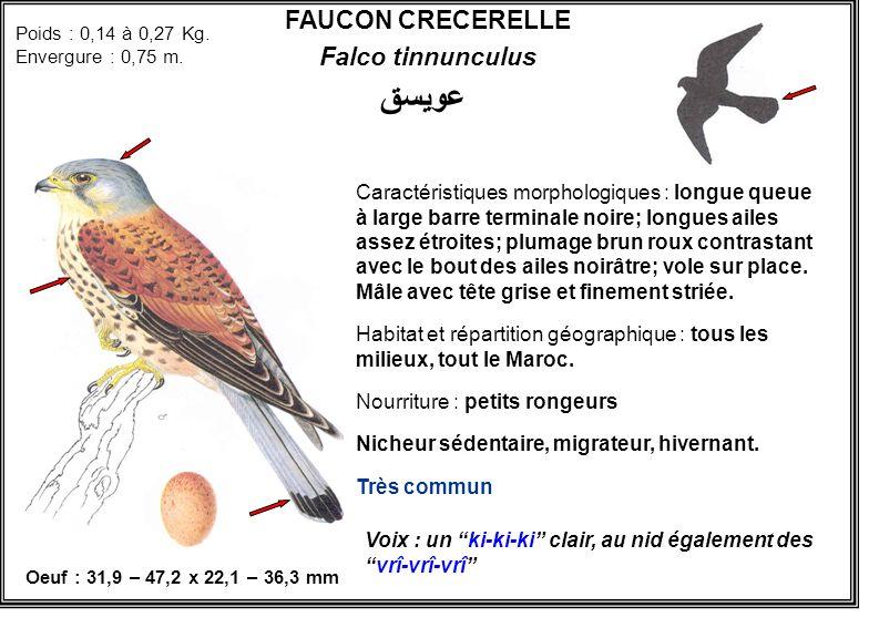 عويسق FAUCON CRECERELLE Falco tinnunculus