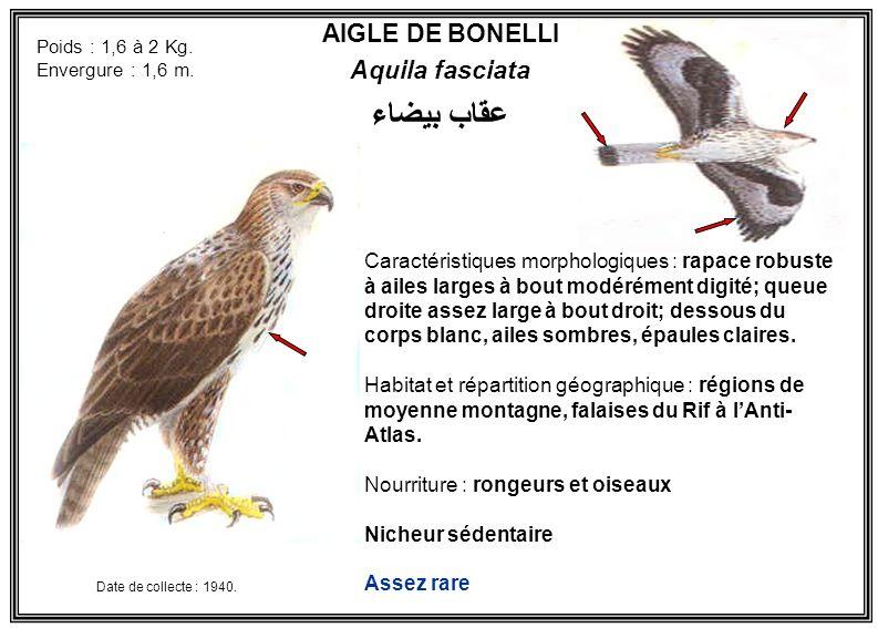 عقاب بيضاء AIGLE DE BONELLI Aquila fasciata