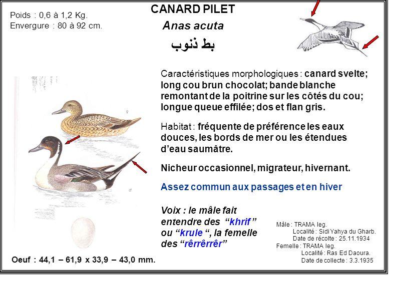 بط ذنوب CANARD PILET Anas acuta