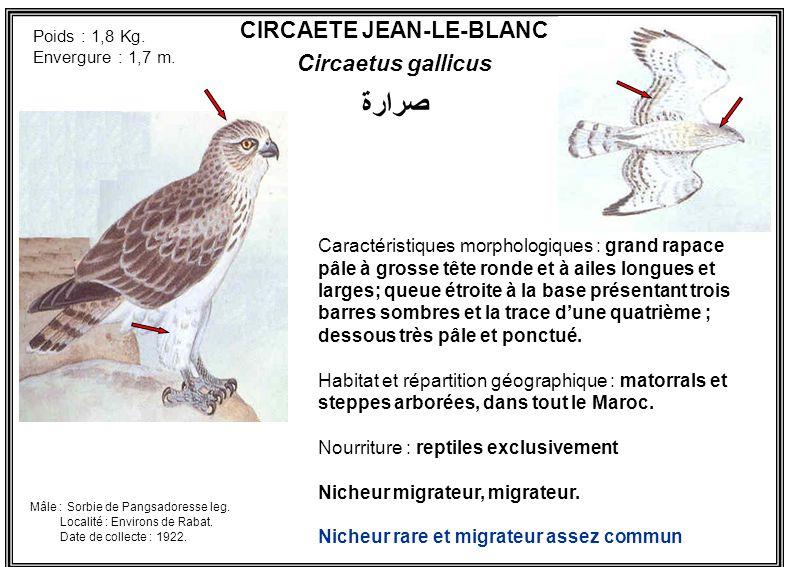 CIRCAETE JEAN-LE-BLANC