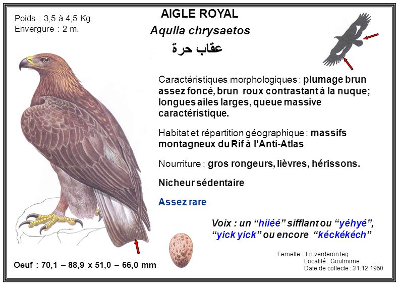 عقاب حرة AIGLE ROYAL Aquila chrysaetos