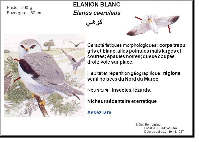 كوهـي ELANION BLANC Elanus caeruleus