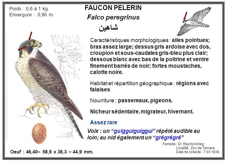 شاهين FAUCON PELERIN Falco peregrinus