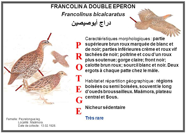 FRANCOLIN A DOUBLE EPERON Francolinus bicalcaratus