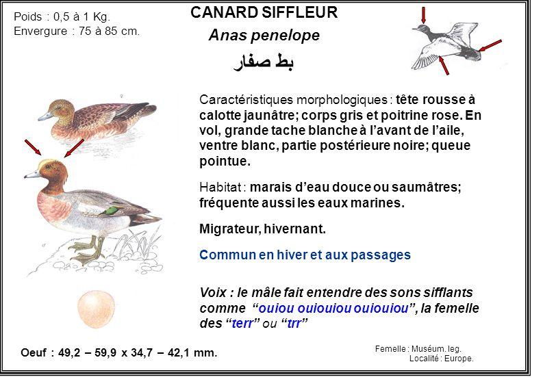 بط صفار CANARD SIFFLEUR Anas penelope