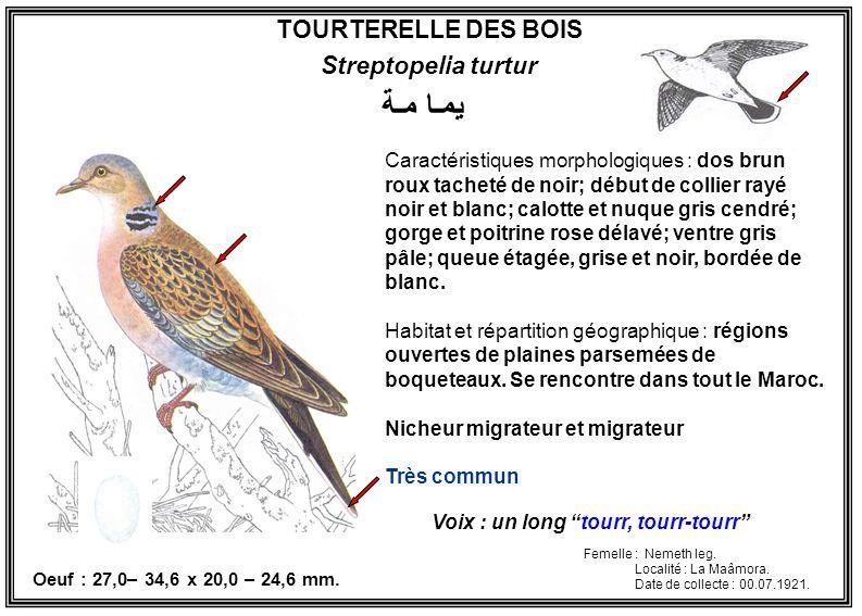 يمـا مـة TOURTERELLE DES BOIS Streptopelia turtur