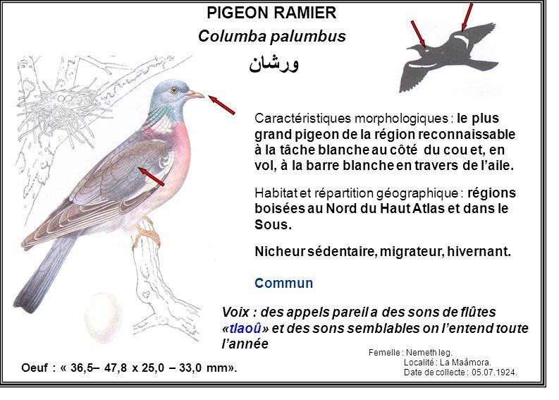 ورشان PIGEON RAMIER Columba palumbus