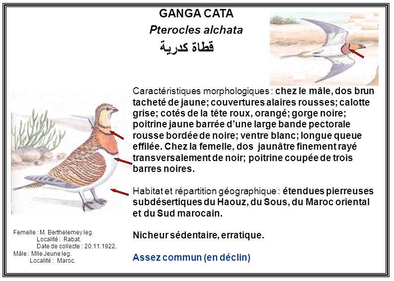 قطاة كدرية GANGA CATA Pterocles alchata