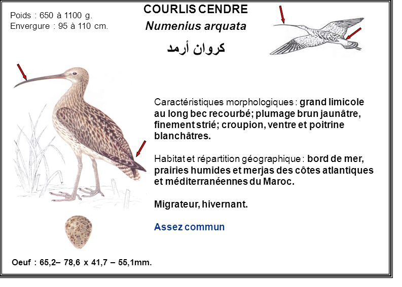 كروان أرمد COURLIS CENDRE Numenius arquata