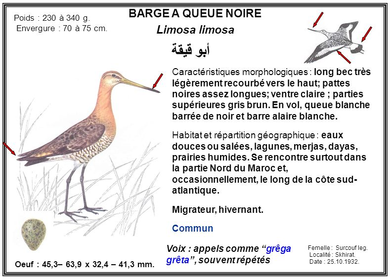 أبو قيقة BARGE A QUEUE NOIRE Limosa limosa