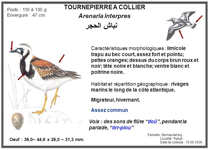 TOURNEPIERRE A COLLIER