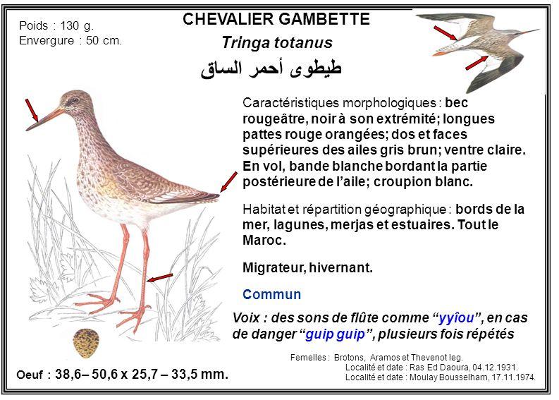 طيطوى أحمر الساق CHEVALIER GAMBETTE Tringa totanus